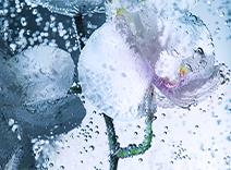 Stammzellen von Orchideen
