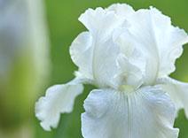 Weiße Iris
