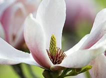 Earl Grey Tee und Magnolienblätter