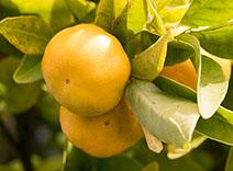 Gelbe Mandarine